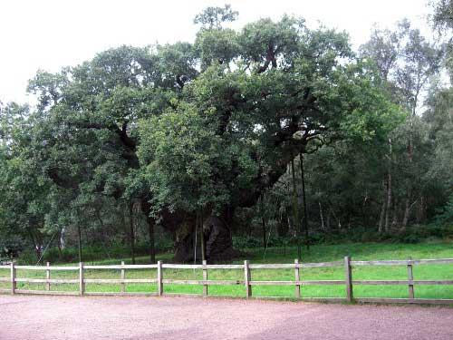 Visitando el famoso bosque de Sherwood